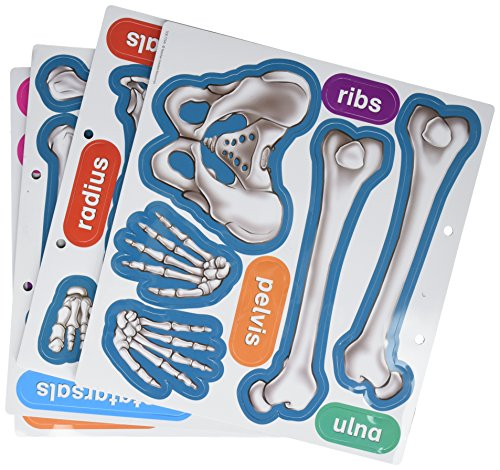 - Teacher Created Resources Human Skeleton Magnetic Accents (77241)