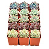 Succulent Plants, 15 Pack of Assorted Rosettes, Fully Rooted in 2'' Planter Pots with Soil, Rare 5 Varieties, Unique Real Live Indoor Succulents/Cactus Décor by The Next Gardener