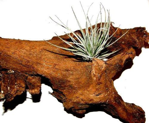 1 Wurzel bepflanzt mit einer Tillandsie, zur Terrariengestaltung, Terrarium 2027