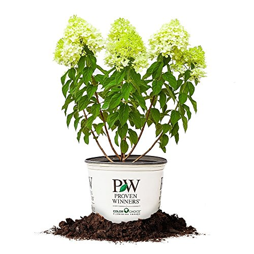 Limelight Hydrangea - Size: 3 Gallon, Live Plant, Includes Special Blend Fertilizer & Planting Guide