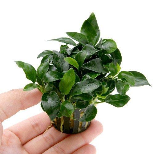 Anubias petite 25~35 leaves - Live aquaric plant fish tank(The plant pot excluded)**No pesticides**