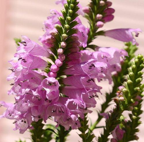50 PINK SHOWY OBEDIENT PLANT (False Dragon Head) Physostegia Virgiana Flower ()