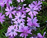 PHLOX SUBULATA 'PURPLE BEAUTY' - CREEPING PHLOX - PLANT