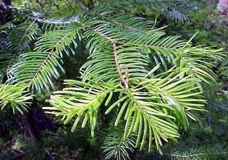Hirt's Gardens Abies Grandis Grand Fir Trees - 20 Seeds