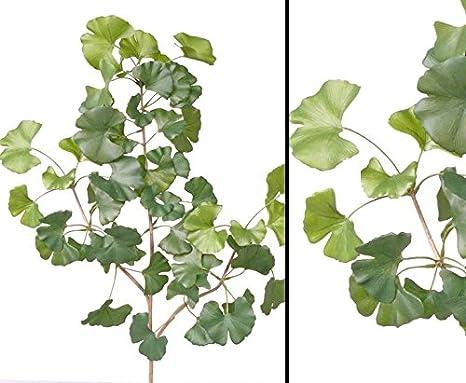 k/ünstlicher Zweig Kunstzweig L/änge 62cm kunstpflanzen-discount.com Sweet Gingko Zweig mit 48 Bl/ätter