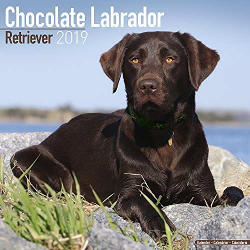 Used, Chocolate Labrador Retriever Calendar 2019 for sale  Delivered anywhere in Canada