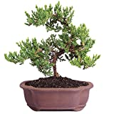 "Brussel's Live Green Mound Juniper Outdoor Bonsai Tree - 5 Years Old; 6"" to 10"" Tall with Decorative"