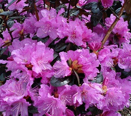 (PJM Elite Lavender Rhododendron - Live Plant - Quart Pot)