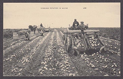 Digging Potatoes in Maine postcard 1950s