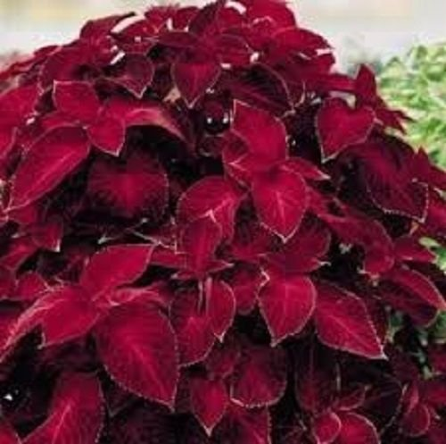 Coleus Annual (50+ Coleus Wizard Scarlet Flower Seeds/Shade Loving Annual)