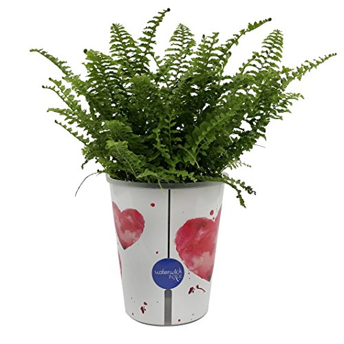Costa Farms WaterWick Self-Watering Heart Design Planter w/ Premium Exotic Angel Live Indoor Love Fern Plant, 4.8-Inch Pot by Costa Farms (Image #1)