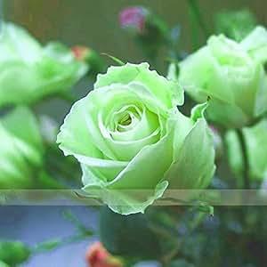 Zennixplus verde Rose Bush semilla vivero de flores Rosa Chinensis