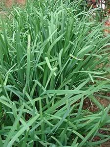 Aïl des Ours Sauvage Allium Ursinum récolté FORET 500 Graines non traitées 2019