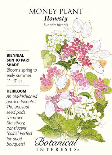 Money Plant Honesty Heirloom Seeds 60 ()