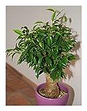 Ficus benjamina - wheeping chinese banyan - 100 seeds