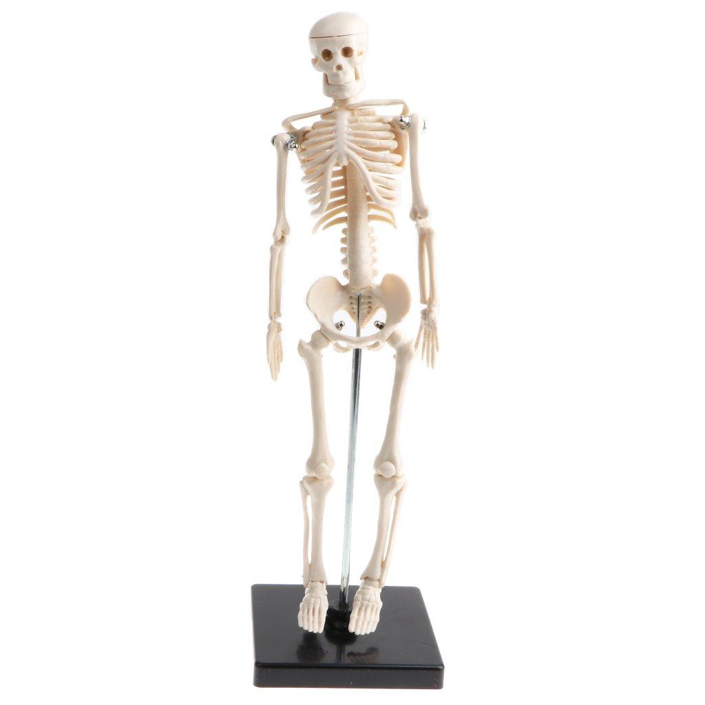D DOLITY Laborbedarf Menschliche Kinder Körper Skeleton / Augapfel ...