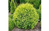 Golden Globe Dwarf Arborvitae (Thuja) - Live Plant - Quart Pot