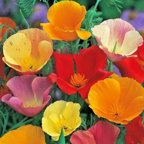 1000+California Poppy Mix Native Wildflower Seeds White Orange Pink Red Yellow