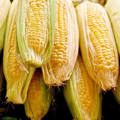 Hybrid Corn - Sugar Buns Hybrid Sweet Yellow Corn, 75+ Premium Heirloom Seeds,Sweet & Yummy & Delicious! Fantastic Addition to Your Home Garden! (Isla's Garden Seeds), 90% Germination Rates, Highest Quality Seeds