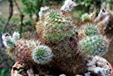 Frailea gracillina ssp horstii cacti rare seed 15 SEEDS