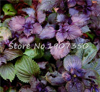Purple Basil Bonsai Sweet Ocimum Basilicum Bonsai Ocimum Basilicum and Medicinal Herb Organic Home Planting 200 Pcs