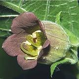 Plant World Seeds - Atropa Belladonna Seeds
