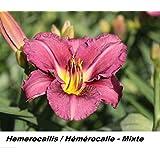 Hemerocallis Hémérocalle Daylily 10 FRECH Seed PERENNIAL Mixte Assortment CANADA