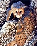 Barn Owl Bird Wildlife Animal Wall Decor Art Print Poster (16x20)