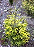 Golden Serbian Spruce 1 - Year Live Plant
