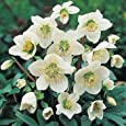 Outsidepride Christmas Rose - 100 Seeds