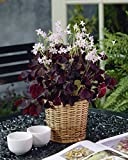 30 Pre-planted bulbs Purple shamrocks into a Love wooden pot as show in last picture