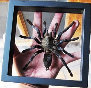 ThaiHonest REAL EURYPEIMA SPINCRUS TARANTULA SPIDER TAXIDERMY IN FRAME DOUBLE SIDE GLASS