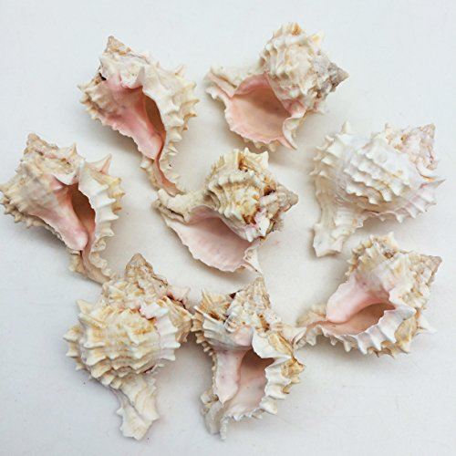 - PEPPERLONELY 8PC Pink Murex Shells Sea Shells, 2 Inch ~ 2-1/2 Inch