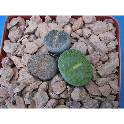 "1 Lithops""lesliei f. Albinica"" - Mix 3 Exotic Plants - 3.25"" Pots Living Stones : Garden & Outdoor"