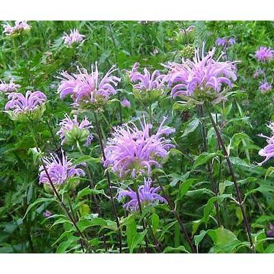 BERGAMOT WILD BEE BALM Monarda Fistulosa - 50, 000 Bulk Seeds : Garden & Outdoor