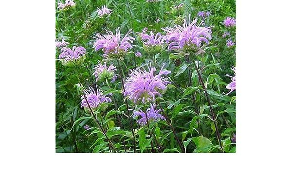 BERGAMOT WILD BEE BALM Monarda Fistulosa 50,000 Bulk Seeds