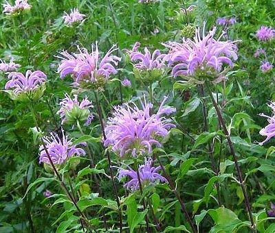 BERGAMOT WILD BEE BALM Monarda Fistulosa - 50,000 Bulk Seeds by ovm-seeds