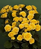 120 Real Fresh Spray Rose Yellow Babe