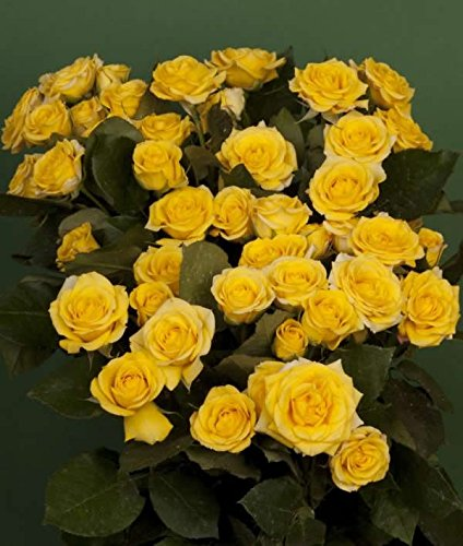 120 Real Fresh Spray Rose Yellow Babe by FarmDirect