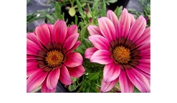 Reseeding Annual 30 Kiss Rose Gazania Flower Seeds