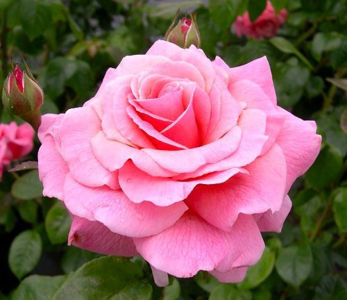 Rosa Bush Rose Floribunda 'TICKLED PINK' Plant Imberhorne Lane Nursery