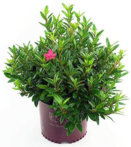 Autumn Jewels (Autumn Jewel Reblooming Azalea, pink flowering plant in 3 Gallon pot  - Azalea Encore 'Autumn Jewel')