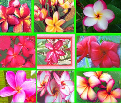 (100 Fresh Seeds Plumeria Agave Rare Real Mix Set9)