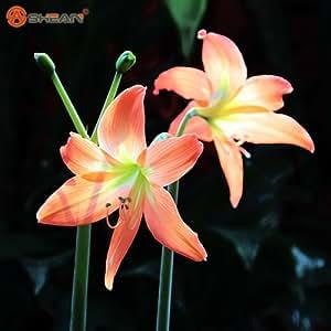 Semillas de plantas de flor Hippeastrum Hippeastrum Rutilum de floración las plantas de semilla 100 partículas / lot