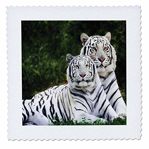 3dRose qs_54187_4 White Tigers Quilt Square, 12 by 12-Inch
