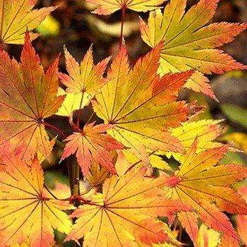 Acer Shirasawanum Jordan 19cm Pot Size Amazoncouk Garden