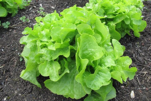 Oakleaf Leaf Lettuce Seeds, 1000+ Premium Heirloom Seeds, Crisp & Delicious! Great for Salads! (Isla's Garden Seeds), Non GMO, 90% Germination Rates, Highest ()