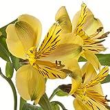 eFlowy - 160 Yellow Alstroemerias - Peruvian Lilies Wholesale