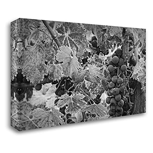 Sauvignon Napa Valley - CA, Napa Valley Cabernet Sauvignon Grapes 39x27 Gallery Wrapped Stretched Canvas Art by Flaherty, Dennis