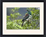 Framed Print of New Zealand Pigeon - sitting in a tree about to feed on berries